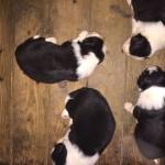 cuccioli-bordercollie-giugno-2017-02
