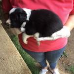 cucciolo-border-collie-bianco-nero-06