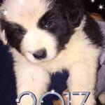 cucciolo-bordercollie-giugno-2017-02