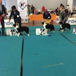 premio-border-collie-ibc-2018-2