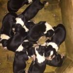 Nove splendidi cuccioli di Border Collie